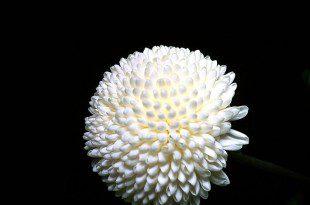 Fiore di Crisantemo, un classico omaggio in occasione dei funerali, prima della successione ereditaria